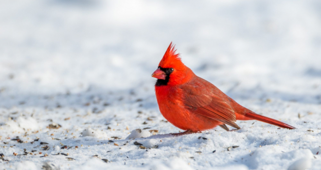 North American male Cardinal