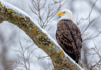 Bald eagle hunting on snowy day