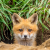 Fox kit peek-a-boo
