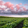 Cotton candy skies – Dallas County, Iowa